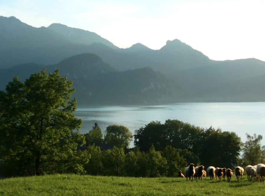 See-Schafe