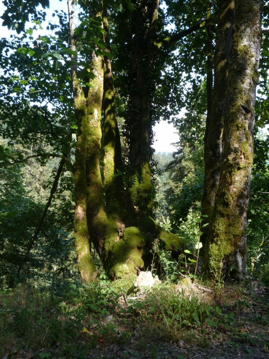 Bäume-mit-Moos