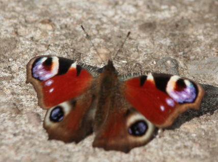 Schmetterling_Pfauenauge
