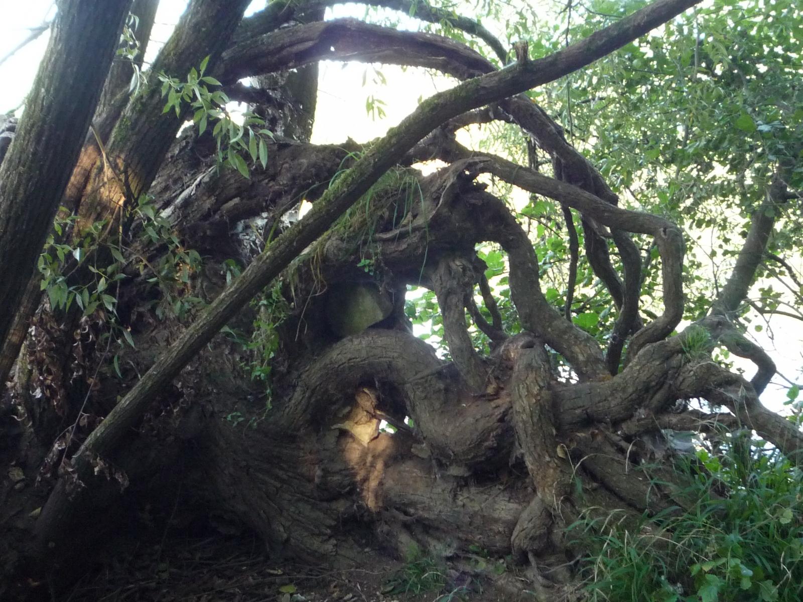 knorriger-Baum